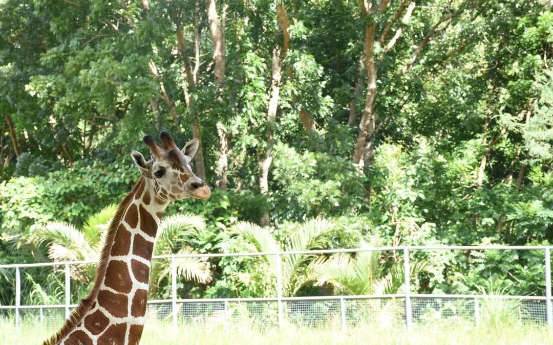 Lola the Giraffe is Expecting!